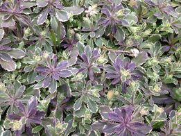 Продам садовый, почвопокровный, многолетний цветок арабис