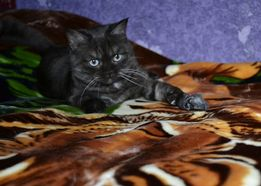 котята от британского кота