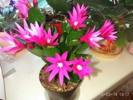 рипсалидопсис, пасхальный кактус рождественник, декабрист, шлюмбергера