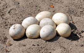 Ostrich chicks and fertilized eggs for sale