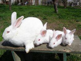 Продам кроликов Белый паннон, Французский баран.