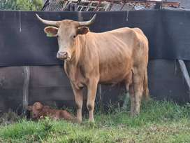 Version Cow with calf