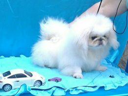 продам щенка пекинеса мальчика КСУ