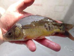 Narybek Amur Karp karaś złoty, jesiotr, Kroczek ryby Lin Szczupak