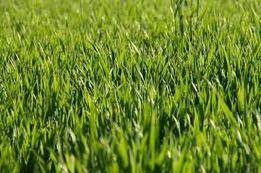 Смесь семян ГАЗОННОЙ ТРАВЫ, новый урожай