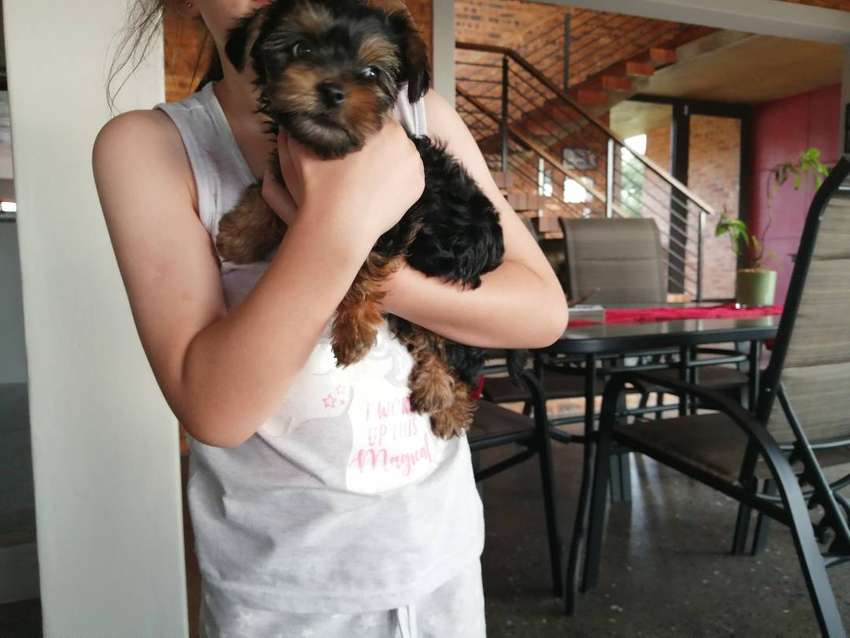 Male Yorkie Puppy for sale 0