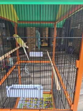 Brand new Parrot cage with indian ringneck for sale