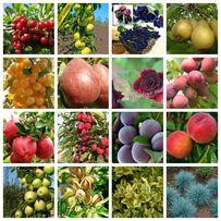 Саженцы плодовых яблоня,груша,слива,вишня,черешня,персик,абрикос и т.д