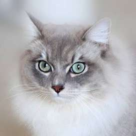 Persian or Siamese kitten wanted