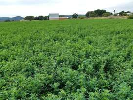LUCERNE FOR SALE - DIRECT FROM FARMER