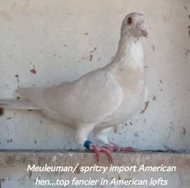 Stunning racing pigeons for sale