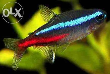 Neon innesa 2,2 CM,dużo innych gatunków ryb,PRACUJEMY 7 DNI W TYGODNIU Warszawa - image 1