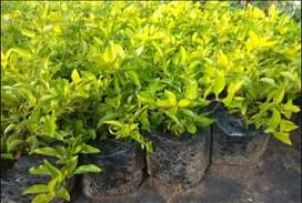 sheena's gold plants for sale