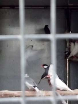 Java Sparrows for Sale