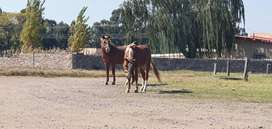 2 Beautiful horses for sale