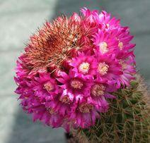 Отростки кактуса вида Маммилярия! Очень красиво цветёт!