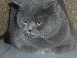Кот для вязки шотландских вислоухих-скоттиш страйт Документы WCF.