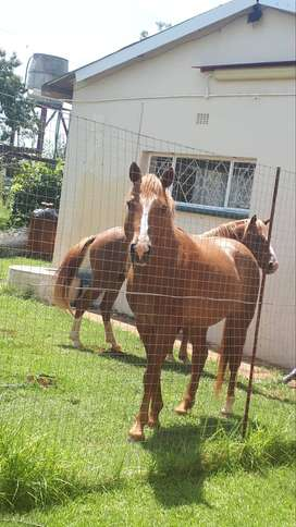 2 beautiful young male horses. Very healthy.