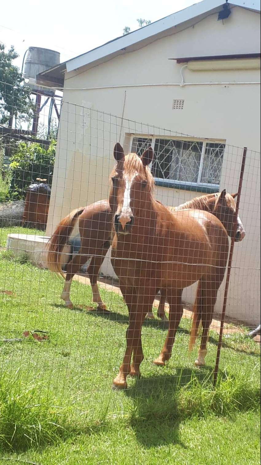 2 beautiful young male horses. Very healthy. 0