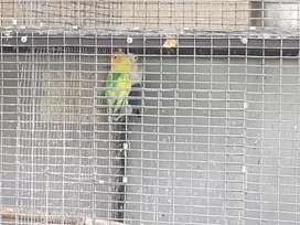 Love birds & cage for sale.