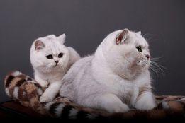 Британская серебристая шиншилла титулованный кот для вязки ns 11