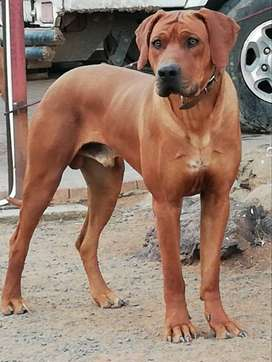 Ridgeback puppies for sale