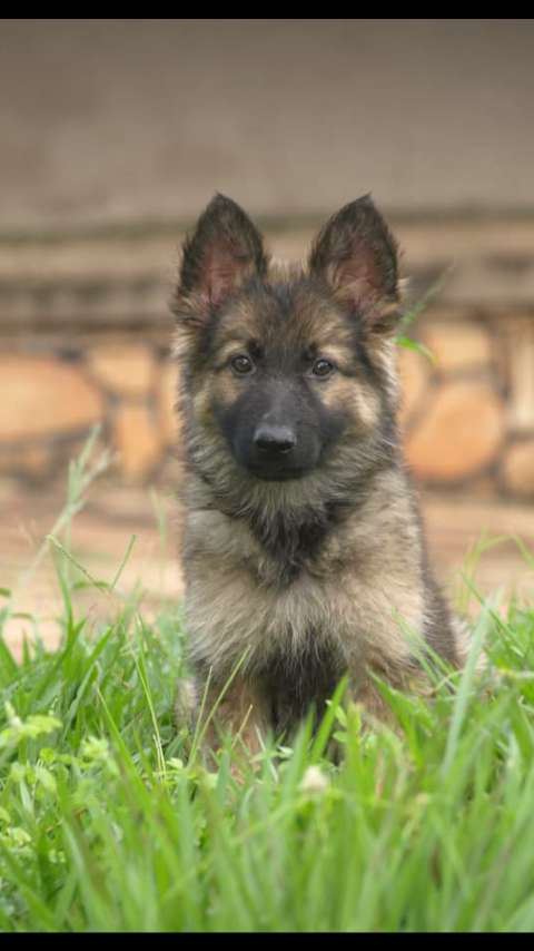 Pure german shepherd puppy for sale,male ,4 months old 0
