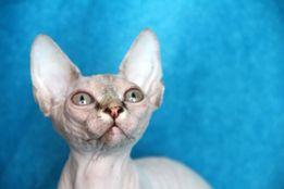Предлагаются котята канадский сфинкс