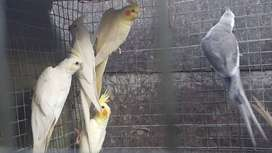 COCKATIELS FOR SALE BREEDING PAIRS
