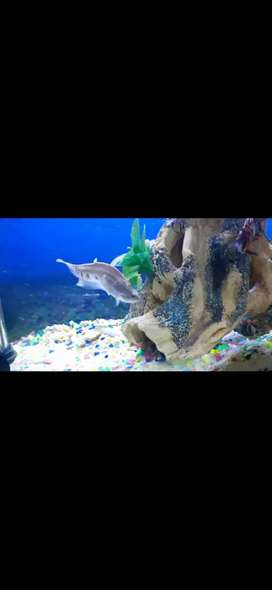 CLOWN KNIFE FISH FOR SALE