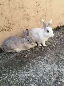 Dwarf rabbits for sale durban