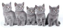 Бронь - Британских плюшевых котят!