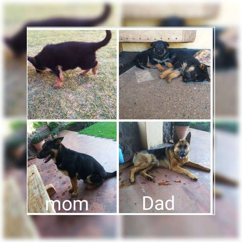 Alsatian puppies for sale 0