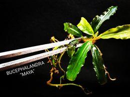Bucephalandra Maya