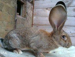 króliki BOS, białe i srokacze,z rodowodem