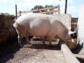 Sow large white