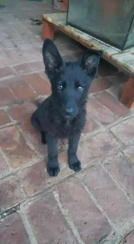 German Shepherd pups available