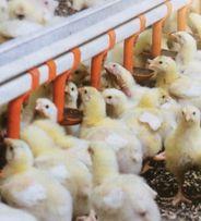 Бройлер суточный, цыпленок с Венгерского яйца, вакцинация, вес 45 грам