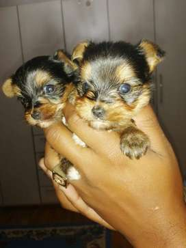 Very small Yorkie males(Teacup/pocket size)