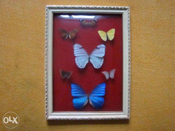 Kolekcja motyli Attacus Atlas 1 szt Urania leilus 1 szt i inne Brzeg - image 4