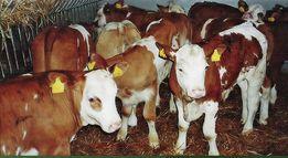 promocja cieleta byczki cielaki mleko w proszku