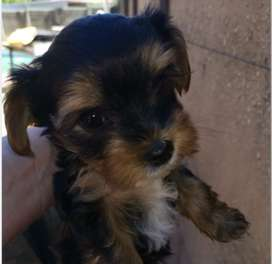Yorkie Male for Sale