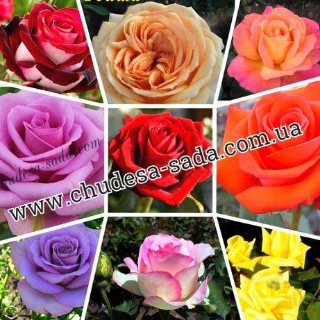 Саженцы роз от производителя. Большой выбор сортов. Розы качество.