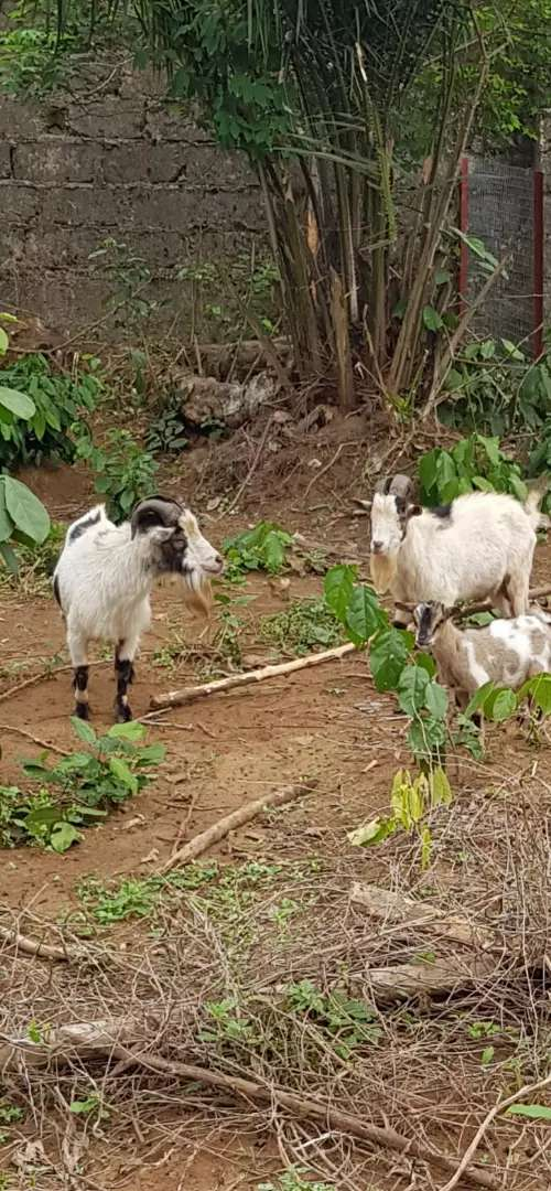Mature Male Goats for sale. 0