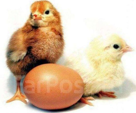 Курчата Цыплята Петушки