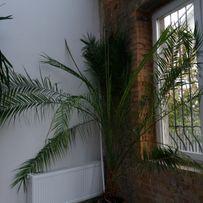 СРОЧНО!!! Финиковая пальма (3,25м высота)