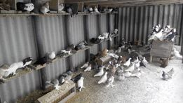 продам голубей разных пород 2019 года