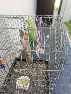 Ring neck parrot and the cage for sale