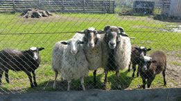 Продам вівці, баранів, Романовської породи!!!