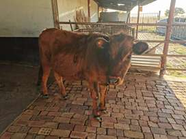 Female Calves for sale